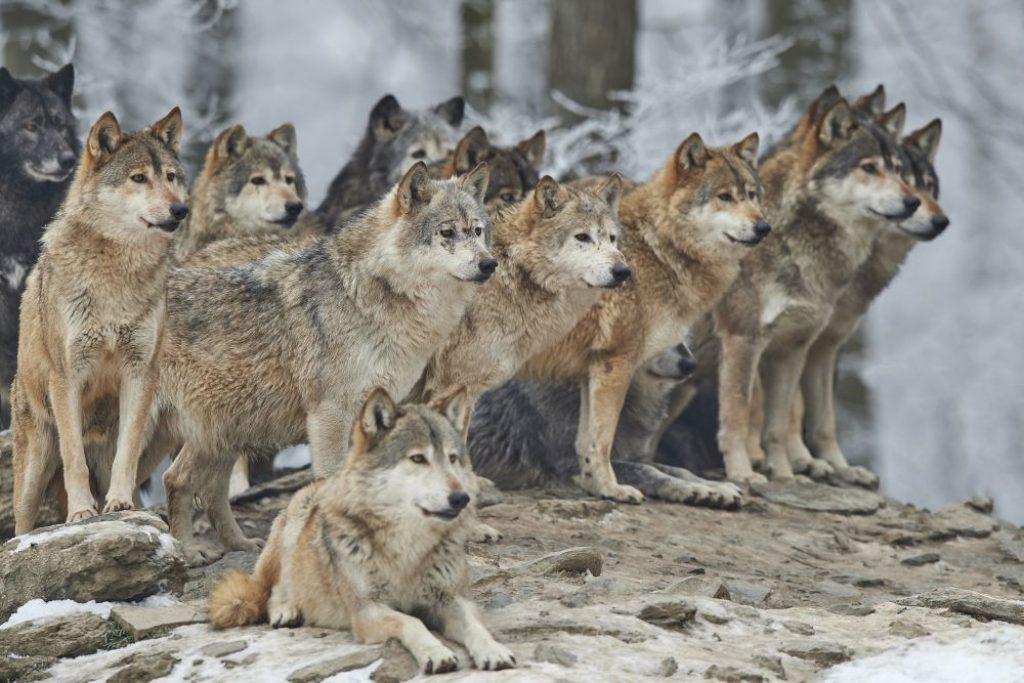 wilki z Yellowstone