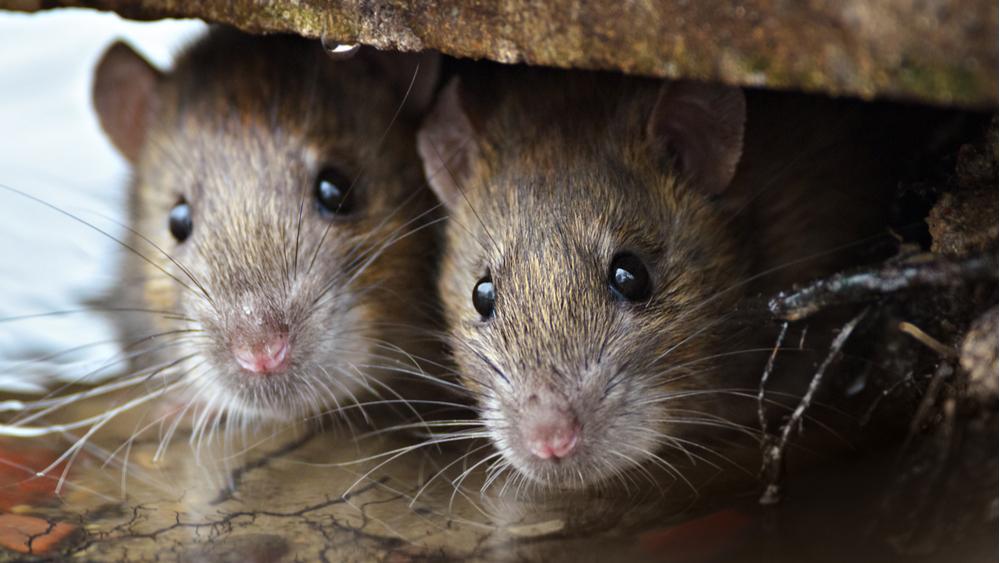 szczury szkodniki