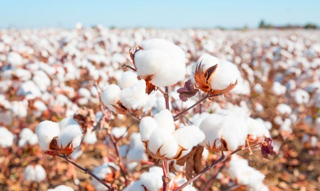 organiczna bawełna