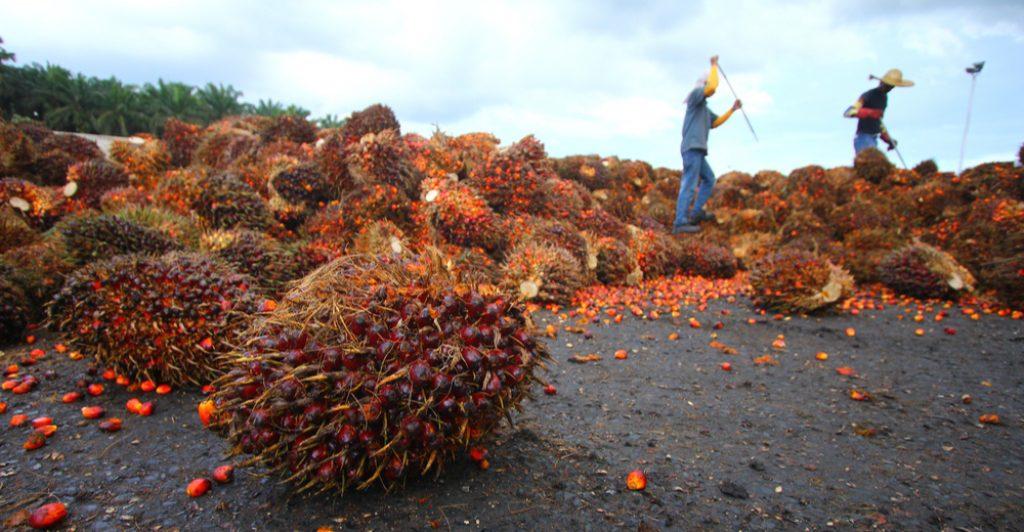 owoce palmy oleistej