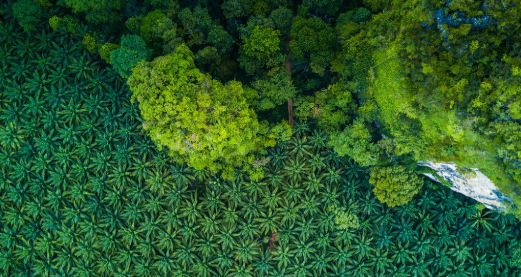 olej palmowy plantacje