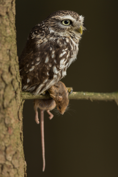 owl hunting pest