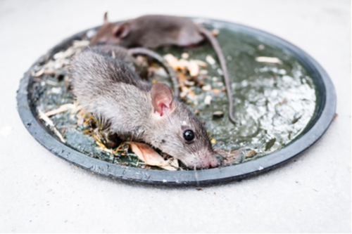 pest rat glue trap