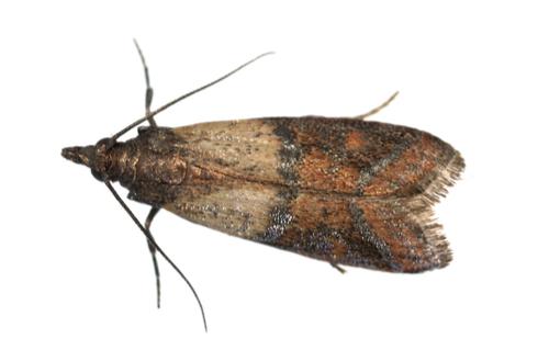 pest flour moth