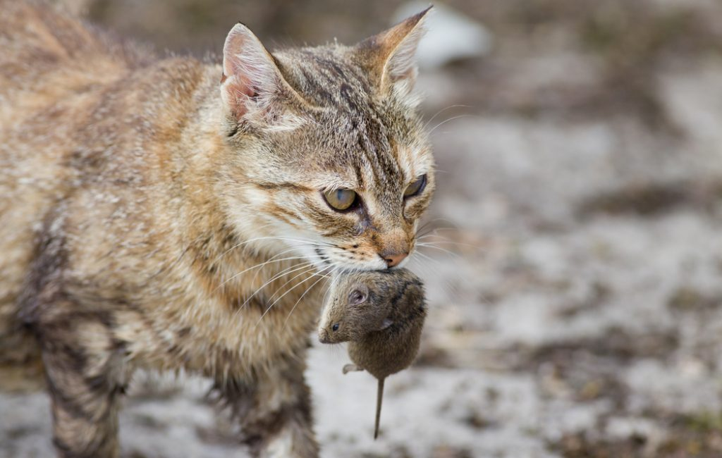 feral cat with prey