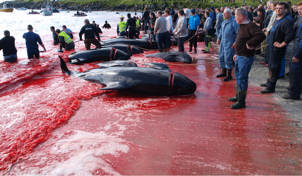 pilot whales whaling