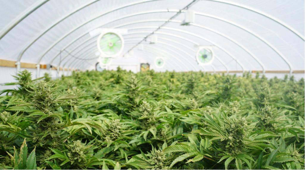 glasshouse cannabis